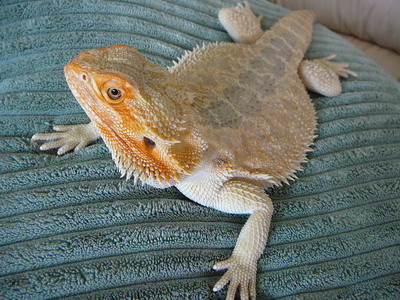 Rio Reptiles Bearded Dragons For Sale