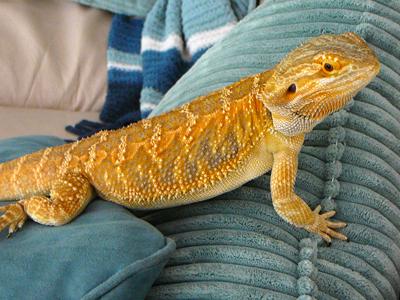 Daysi x Nova Citrus Yellow & Orange German Giant Baby Bearded Dragons ...